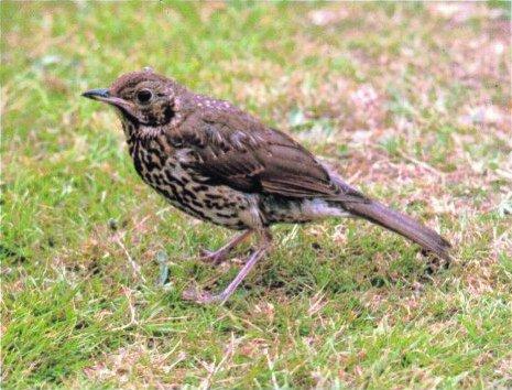 blackbird-f.jpg
